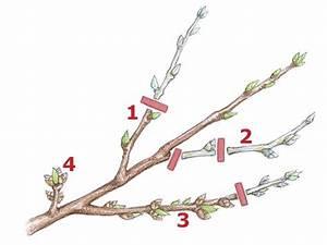 Kirschbaum Richtig Schneiden : pfirsichbaum richtig schneiden gartentipps pinterest pfirsichbaum garten und baum ~ Frokenaadalensverden.com Haus und Dekorationen