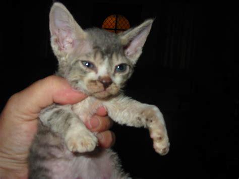 Fileaustralian  Ee  Devon Rex Ee   Kitten Kizmet Jpg Wikimedia