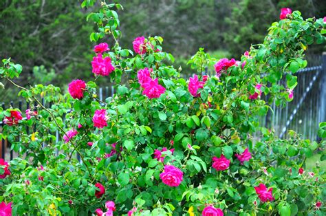 when to plant roses roses time to plant images