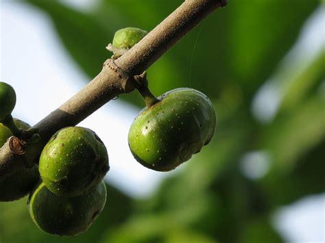 gular tree image ficus racemosa