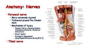 Knee Nerve Anatomy
