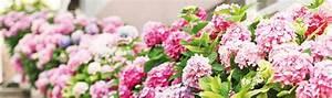 Hortensien Pflege Balkon : hortensien pflegen mit hornbach ~ Lizthompson.info Haus und Dekorationen