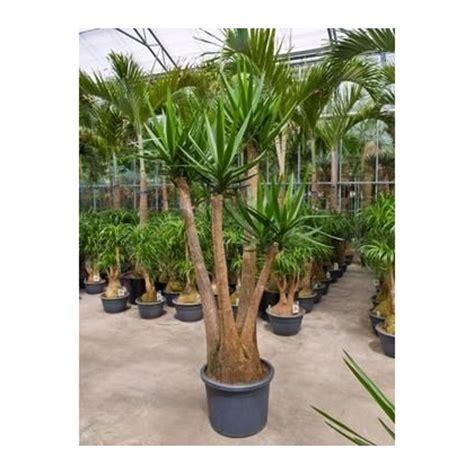 yucca plante interieur ou exterieur yucca elephantipes ramifi 233 220 cm racyne