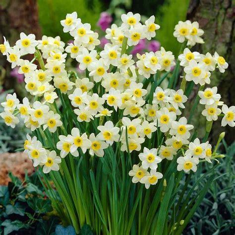 25 narcissus minnow daffodil narcissi