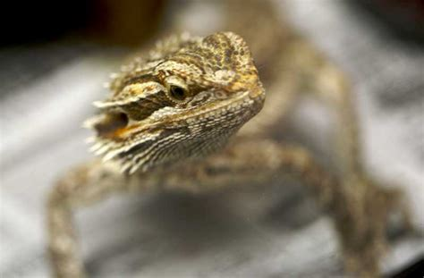 what kind of heat l for bearded dragon different types of bearded dragon bearded dragon care