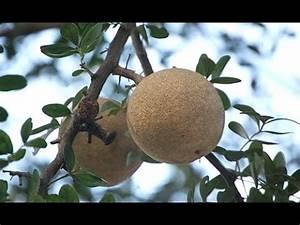 limonia acidissima wood apple bael fruit - YouTube