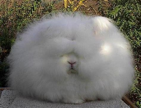 アンゴラ:個別「アンゴラウサギ」の写真 ...