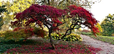 Japanischer Garten Ahorn by Japanischer Ahorn By Visunana707 Garten Japanischer