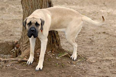 comment dissuader un chien d uriner alimentation