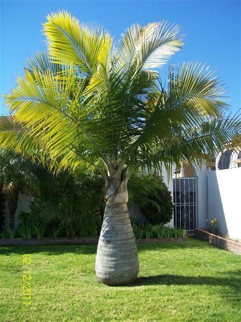 jenis pohon palem hias    cari desain rumah