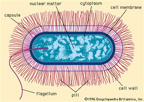 Anthrax Bacterium Diagram by Kathryn And Sarajane S Bacteria Wiki Structure