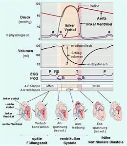 Blutvolumen Berechnen : physiologie herz im kreislauf ~ Themetempest.com Abrechnung