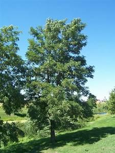Joe U0026 39 S Garden Journal  Black Locust