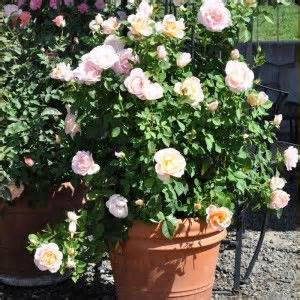 growing roses for beginners tips on growing roses in containers gardening homesteading pinterest rose gardens and