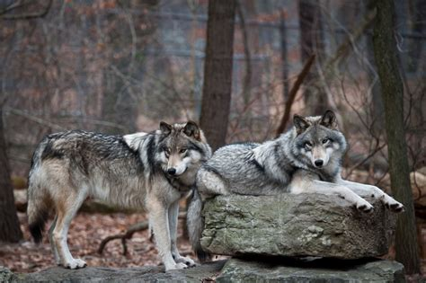Gray Wolves Adaptations