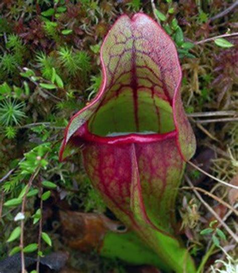northern pitcher plant door county pulse