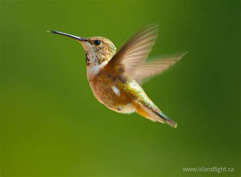 rufous hummingbird hummingbird photo from smelt bay