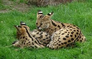 Serval Cat Images | FemaleCelebrity
