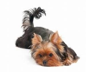 Pics For > Adult Male Yorkie