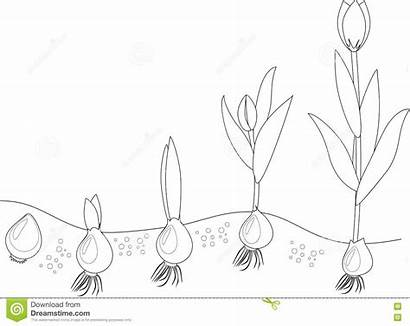 Coloring Tulip Stage Growth Flower Outline Grain