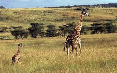 Giraffe Wallpapers Animal Background Desktop Backgrounds Computer