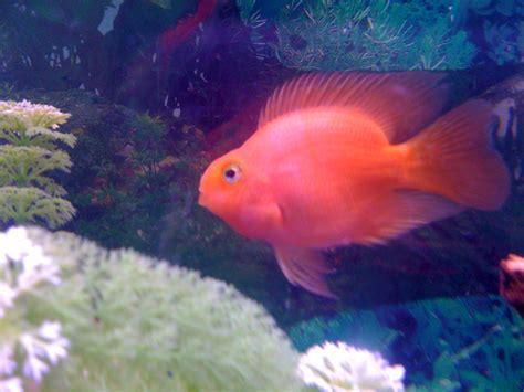 blood parrot fish cichlids com blood parrot cichlid