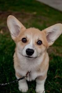 17 Best images about Corgi Puppies! on Pinterest ...