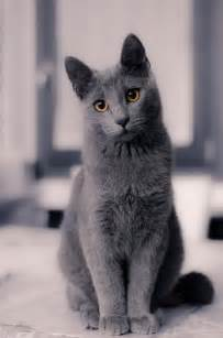 blue cat 25 best ideas about russian blue cats on blue