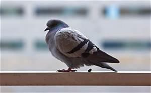 was tun gegen tauben tipps zum vertreiben und abwehren With garten planen mit tauben auf dem balkon vertreiben