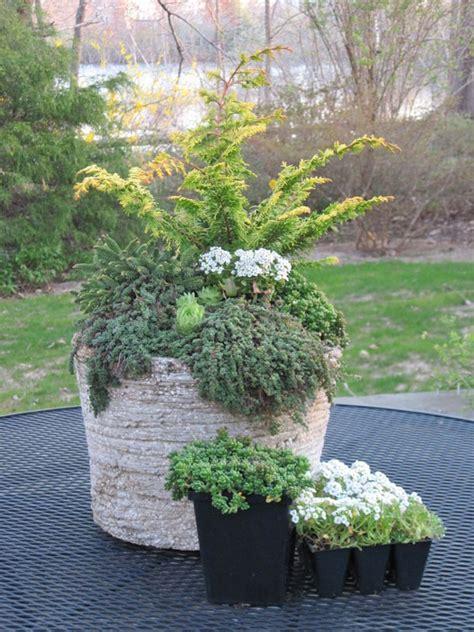 container gardening  evergreens dwarf evergreens succulents  thyme evergreen garden