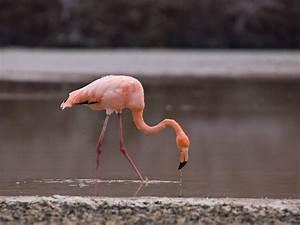 Wild Flamingo Wading | Flamingo Facts and Information