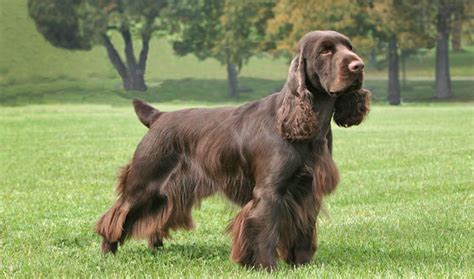 field spaniel breed information