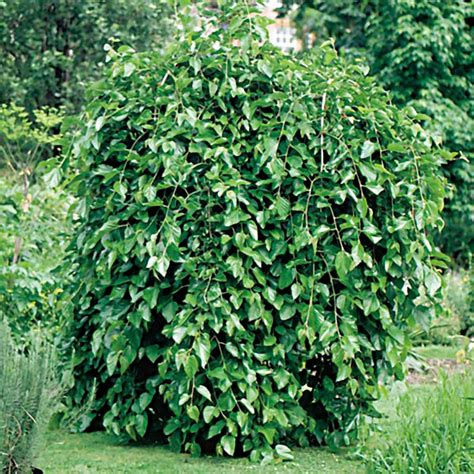 weeping mulberry tree care weeping mulberry pendula morus alba my garden life