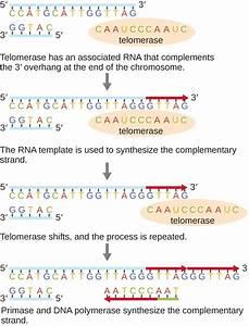 12 2 Dna Replication  U2013 Microbiology  Canadian Edition