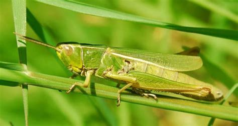 facts about grasshoppers search grasshoppers 407   dde1d8c1611ac04b402d2daa116796ba