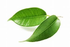 Ficus Benjamini Pflege Gelbe Blätter : ficus pflege so gehen sie gegen sch dlinge vor ~ Lizthompson.info Haus und Dekorationen