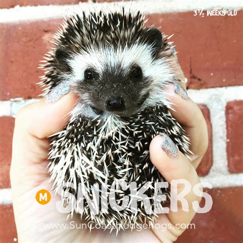 Hedgehogs For Sale  Just Bcause