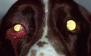urgencias oftalmologicas en perros urgencias