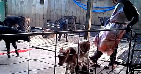 animal charitys horrifying video exposes shocking animal