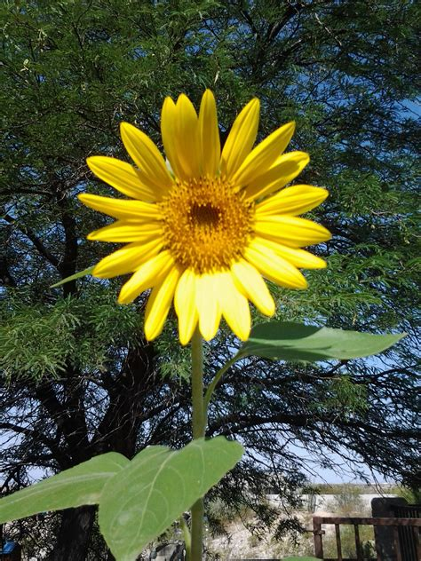 growing sunflowers in pots facts about sunflowers tjs garden