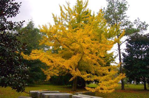 ginco trees diary of a garden ginkgo tree mobile botanical gardens