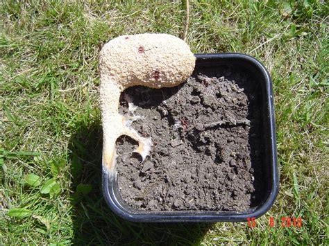 Große Weiße Pilze Im Garten by Pilz Schleimpilz Chiliforum De