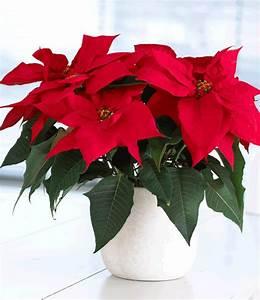 Weihnachtsstern Pflanze Kaufen : weihnachtsstern 1a pflanzen online kaufen baldur garten ~ Michelbontemps.com Haus und Dekorationen