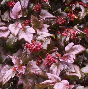 burgundy shrubs and bushes shrubs with burgundy red foliage mike s garden top 5 plants