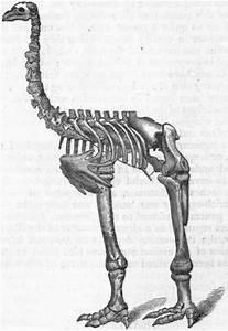 Ostriches Skeleton