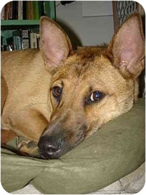 dingo dog adopted dog nashville tn carolina dog mix