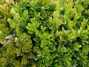 Arbuste Persistant En Pot : buis marie claire ~ Premium-room.com Idées de Décoration