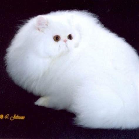 foto persiani immagini di gatti persiani yr53 pineglen