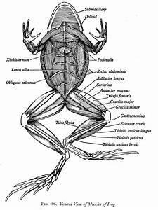 31 Frog Muscle Diagram
