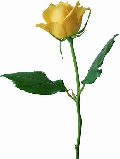 Yellow Rose Clip Cliparts Clipart Attribution Forget